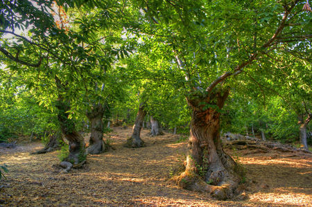 Grove of chestnut trees in Las Medulas, Leon, Spain