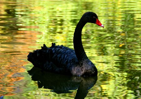 Black swan in the lake
