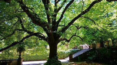 Linden tree in the botanical garden of Coimbra, Portugal Stock Photo
