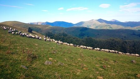 Flock of sheep in the Atlantic Pyrenees on the French Way of Santiago, France Stock Photo
