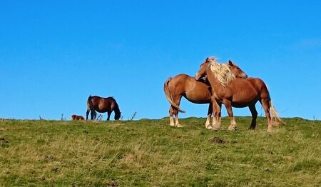 Horses in the Atlantic Pyrenees on the French Way of Santiago (Napoleon Route) Stock Photo - 132172992