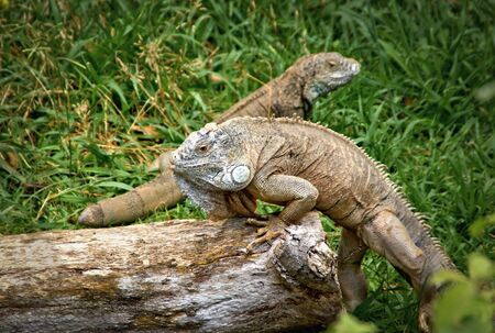 Green iguana also known as the American iguana