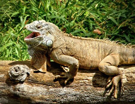 Green iguana also known as the American iguana Banco de Imagens - 135911846
