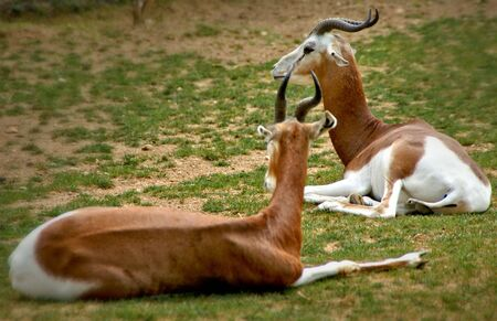 The springbok (Antidorcas marsupialis) is a antelope found mainly in southern and southwestern Africa Banco de Imagens
