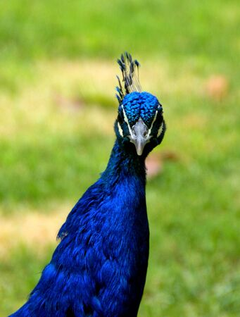 Peafowl is a common name for birds in the genera Pavo and Afropavo of the Phasianidae family Banco de Imagens - 138386175