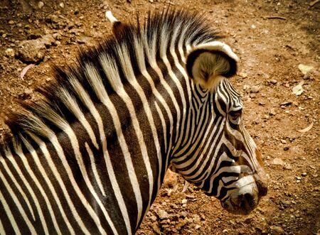Mountain zebra of Equidae family Banco de Imagens - 135911804