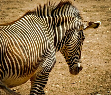 Mountain zebra of Equidae family