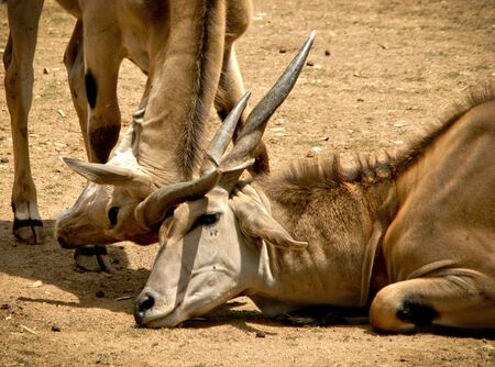 The common eland (Taurotragus oryx)