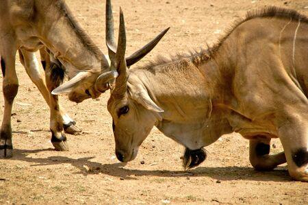 The common eland (Taurotragus oryx)