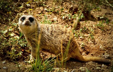 Meerkat (Suricata suricatta) a small carnivoran in the mongoose family