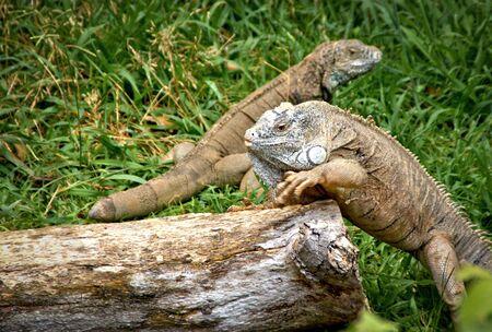Green iguana also known as the American iguana Banco de Imagens - 135913161