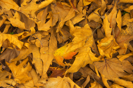 sear and yellow leaf: dry maple leaf background texture