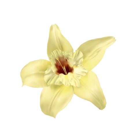 flor de vainilla: flor de la vainilla aislado en el fondo blanco