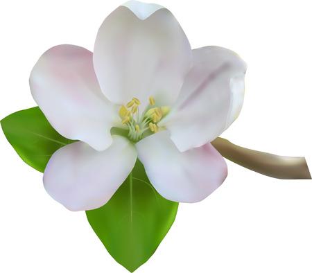 apple blossom: Apple blossom on the white background, vector illustration Illustration