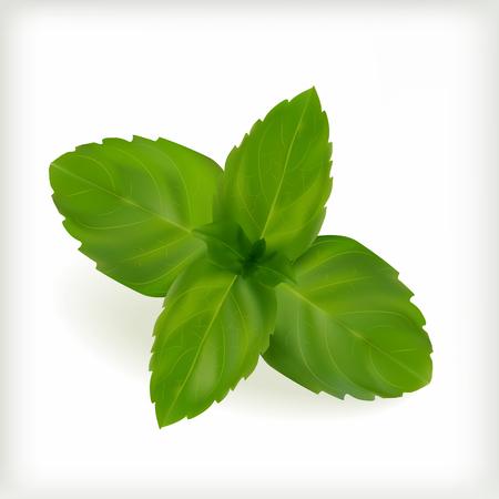 spearmint: Fresh mint leaves on the white background, vector illustration Illustration