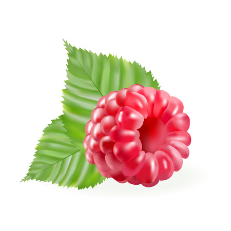 rasberry: Vector illustration - rasberries with gteen leaves isolated on the white background