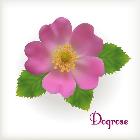 Realistic Dog-rose flower isolated on the white background. Illustration