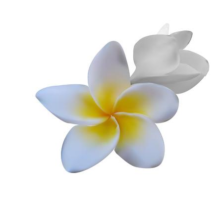 plumeria flower: Frangipani (Plumeria flower) Illustration