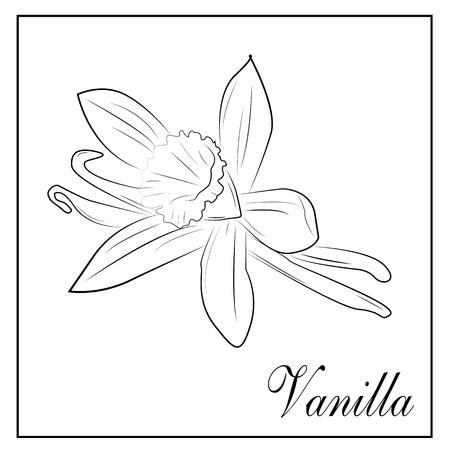 graphic illustration: Sketch vector illustration. Vanilla flower in graphic