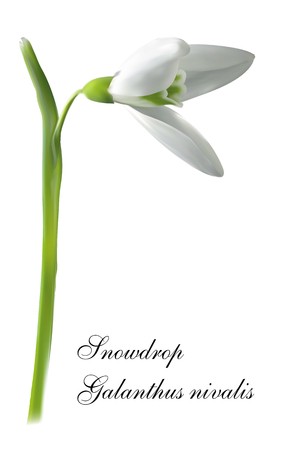 The first snowdrops Galanthus isolated on white background close up. Illustration