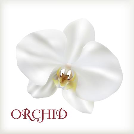 Beautiful Orchid, white phalaenopsis isolated on white background.