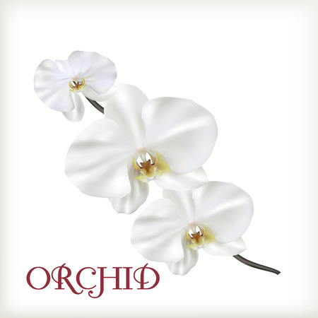 White flowers of orchid
