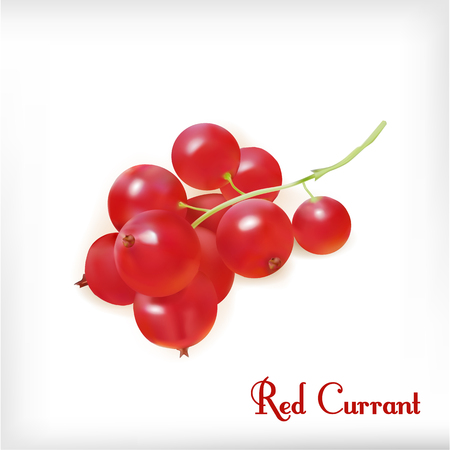 Red currant. Realistic vector illustration of berries white background. Çizim