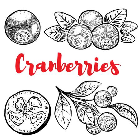 Set of hand drawn cranberries isolated on white background. Design elements for label, emblem, sign, poster, menu. Vector illustration Illustration