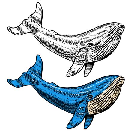 Illustratie van de walvis die op witte achtergrond wordt geïsoleerd. Zwemmende blauwe zeezoogdieren symbool voor onderwater wildlife thema, t-shirt print, visserij industrie ontwerp Vector Illustratie