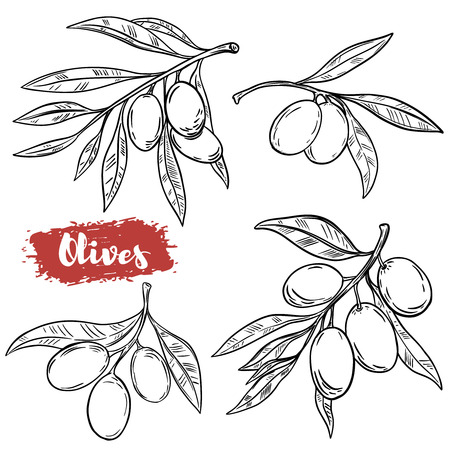Set of hand drawn olive illustrations isolated on white background. Design elements for poster, menu. Vector illustration Vectores
