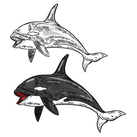 orca whale illustration isolated on white background. Vector illustration Ilustracja