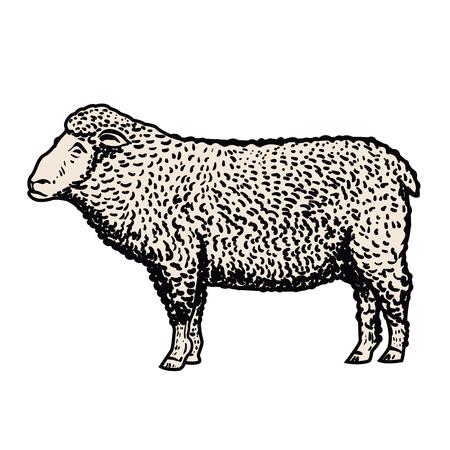 Sheep illustration isolated Vector illustration Illustration
