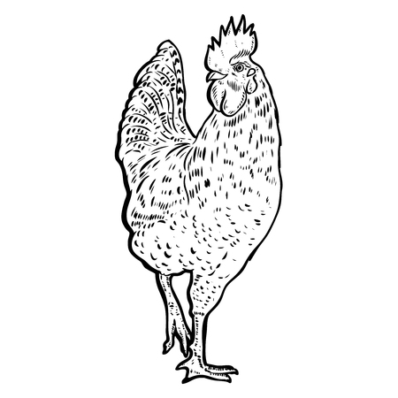 Rooster illustration on white background.