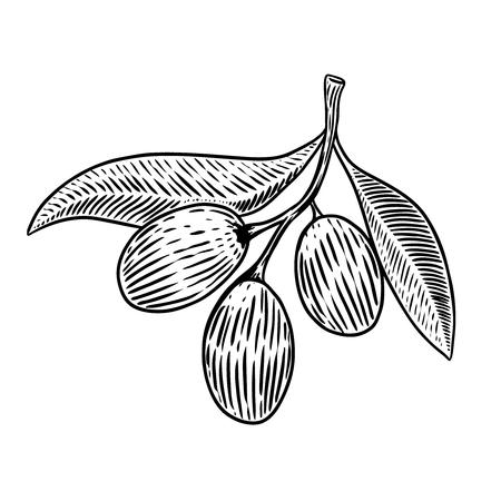 Olive brunch in engraving style Design element for poster, card, banner. Vector illustration Illustration