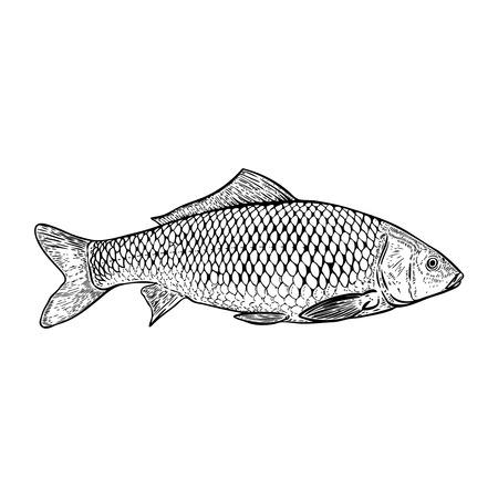 Dibujado a mano ilustración de peces carpa. Diseñe los elementos para el cartel, menú, bandera, menú. Ilustración vectorial Foto de archivo - 91337942