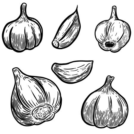 Set of hand drawn garlic illustrations. Design elements for poster, banner, menu. Vector illustration