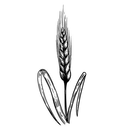 Hand drawn wheat illustration in engraving style. Design element for label, emblem, sign. Vector illustration