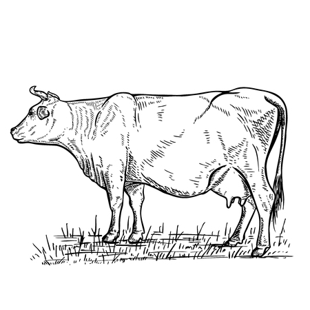Hand drawn cow illustration on white background, design elements for label, emblem, sign.