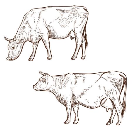 ●白い背景に隔離された手描きの牛イラストのセット。ポスター、エンブレム、アイコン、サインのデザイン要素。ベクトルイラスト。 写真素材 - 92567310