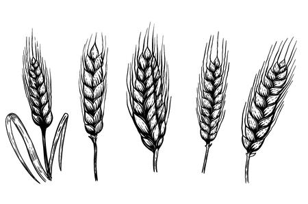 Reeks hand getrokken tarweillustraties die op witte achtergrond worden geïsoleerd. Ontwerpelement voor pictogram, label, embleem, teken. Vector illustratie.