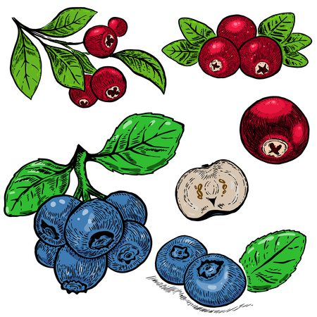 Hand drawn blueberry purple berries and red cranberry. Design element for poster, card, banner, menu, store decoration. Vector image