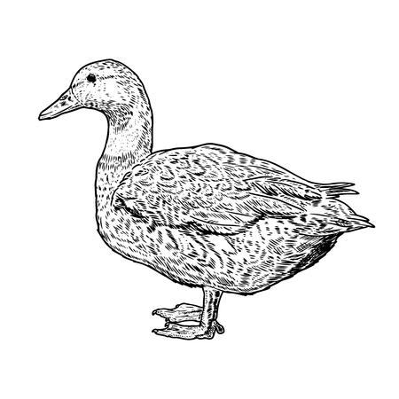 Wild duck illustration on white background. Design element for poster, card, banner, flyer. Vector illustration Illustration