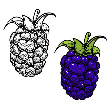 blackberry illustration in engraving style on white background. Design element for logo, label, emblem, sign, nemu, flyer, banner, poster. Vector illustration Ilustração