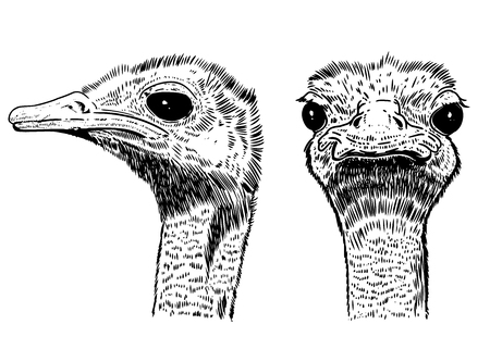 Ostrich illustration on white background. Design element for poster, card, t shirt, banner. Vector image