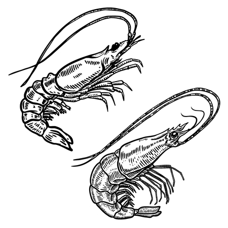 Illustration of shrimp in engraving style. Design element for logo, label, sign, poster, t shirt. Vector illustration
