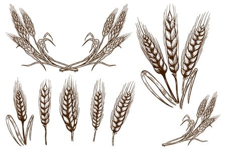 Conjunto de ilustraciones de espiguillas de trigo sobre fondo blanco. Elemento de diseño de carteles, tarjetas, pancartas, folletos. Imagen vectorial