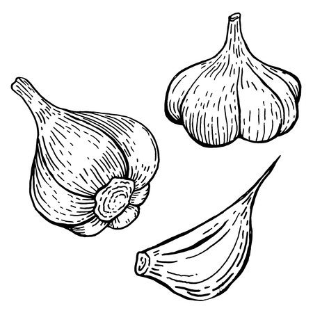 Set of garlic illustrations. Design element for poster, banner, menu, sign. Vector illustration