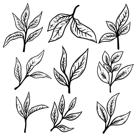 Set of hand drawn tea leaves illustrations. Design element for poster,label, card, banner, flyer. Vector illustration Ilustrace