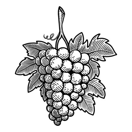 Illustration of grape in engraving style. Design element for poster, card, banner, sign, emblem. Vector illustration