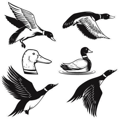 Set of illustrations of wild duck. Duck in flight, duck swimming on water. Ilustración de vector